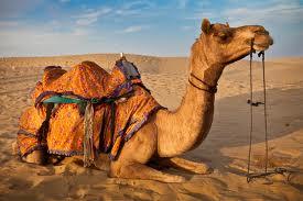 Camel Ride - Rajasthan
