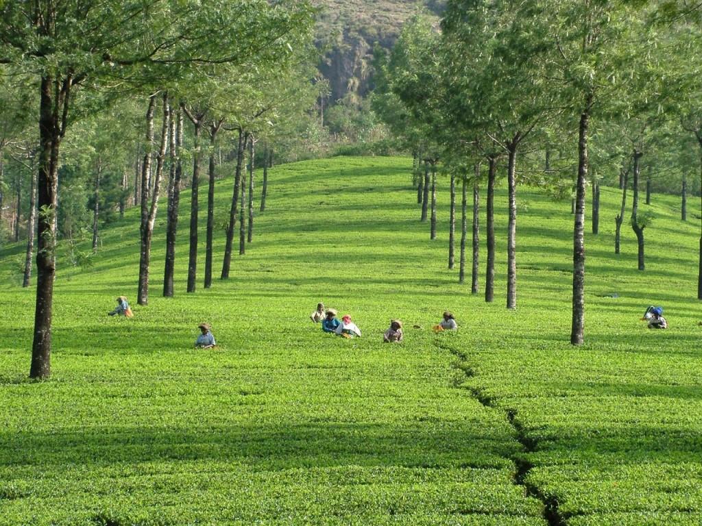 Kerala Tourism Attractions - Tea Plantation in Munnar