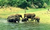 Elephants Thekkady
